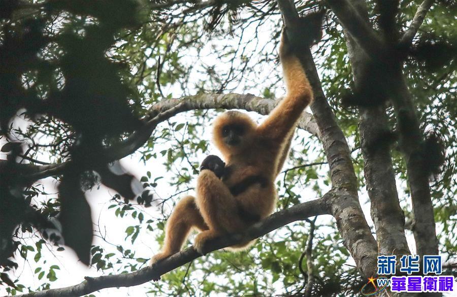 寻找海南长臂猿