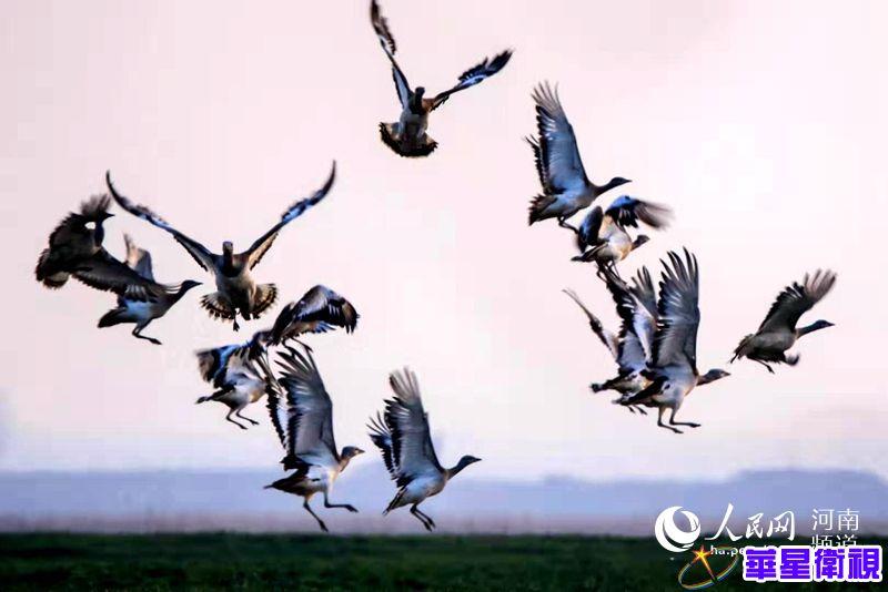 河南封丘:生态环境好 候鸟列阵来