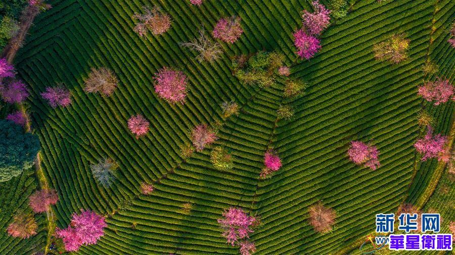 无量山樱花谷:茶园泛绿 樱花似霞