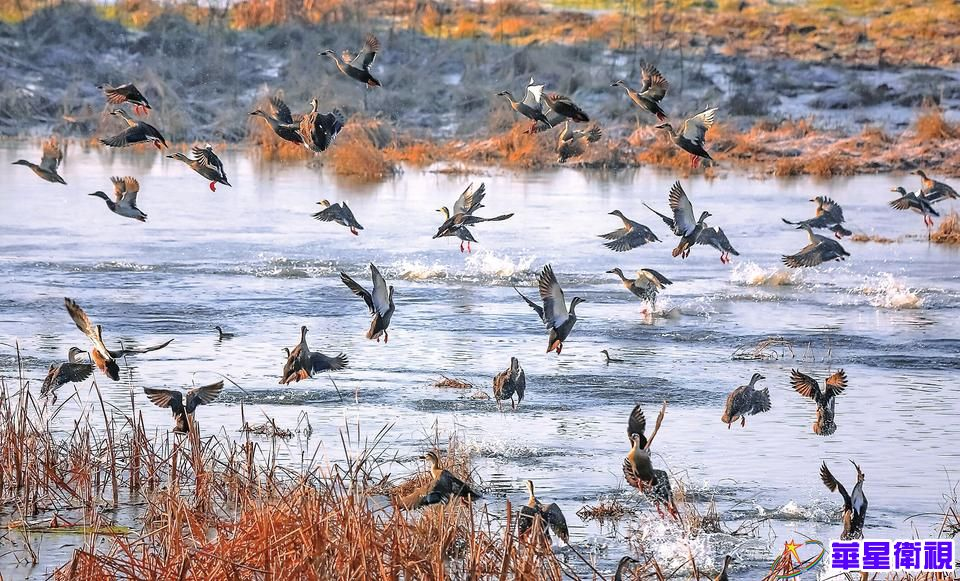 黄河小浪底迎来数万候鸟过冬