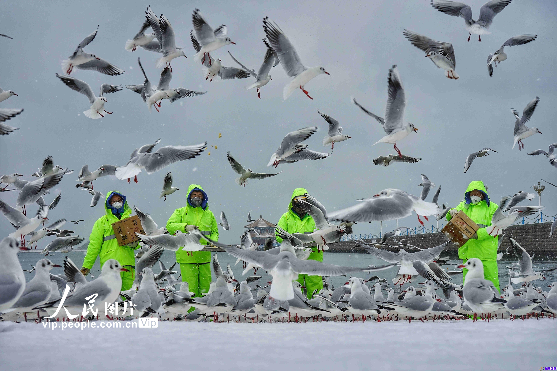 青岛降下大雪 工作人员向海鸥喂食