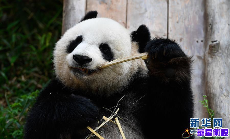 海口:大熊猫迎游人 2020年03月20日 16:23:30 | 来源: 新华网