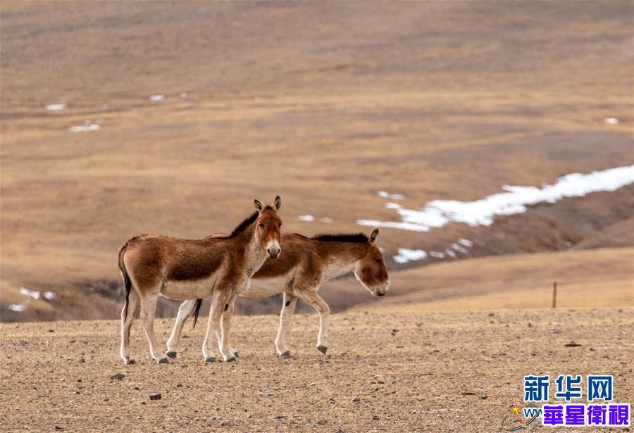 藏北高原的美丽生灵