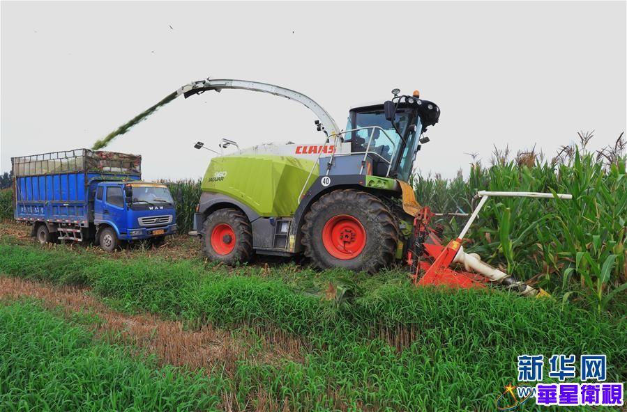 河北滦南:收获青贮玉米