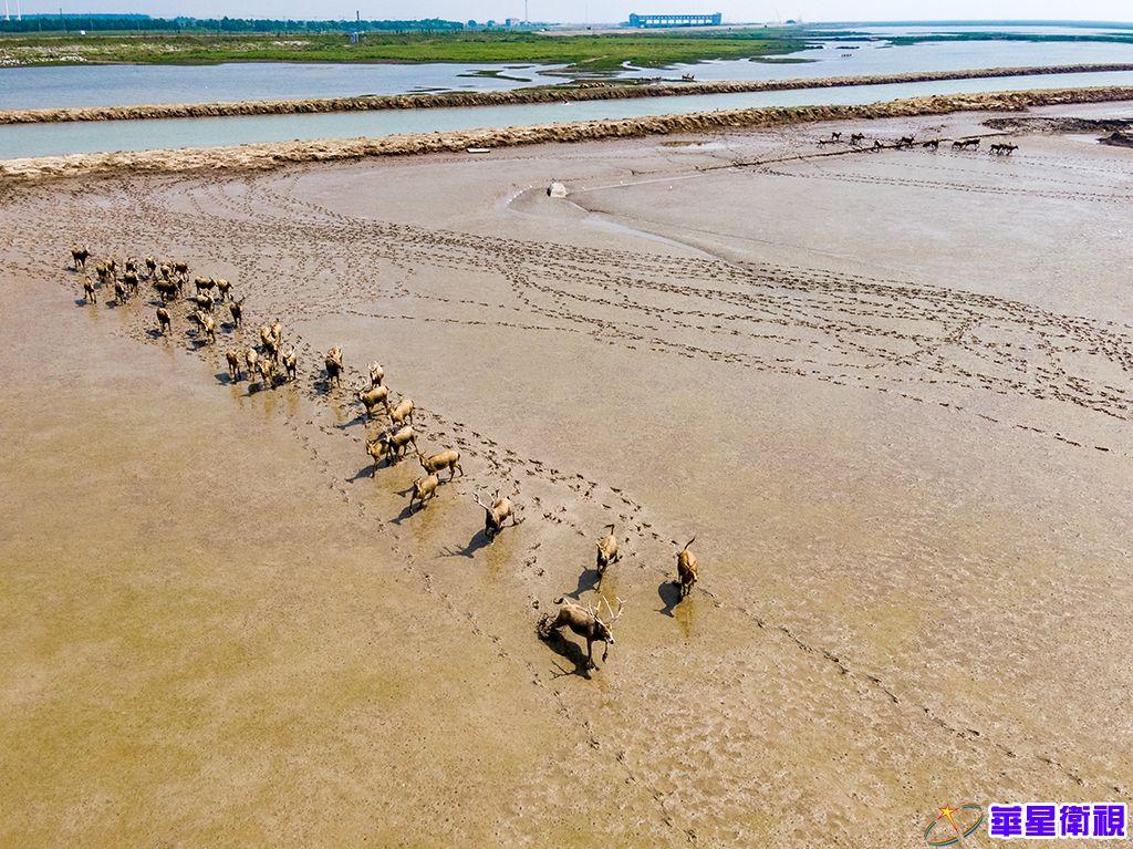 黄海湿地成麋鹿休养生息自然栖息地