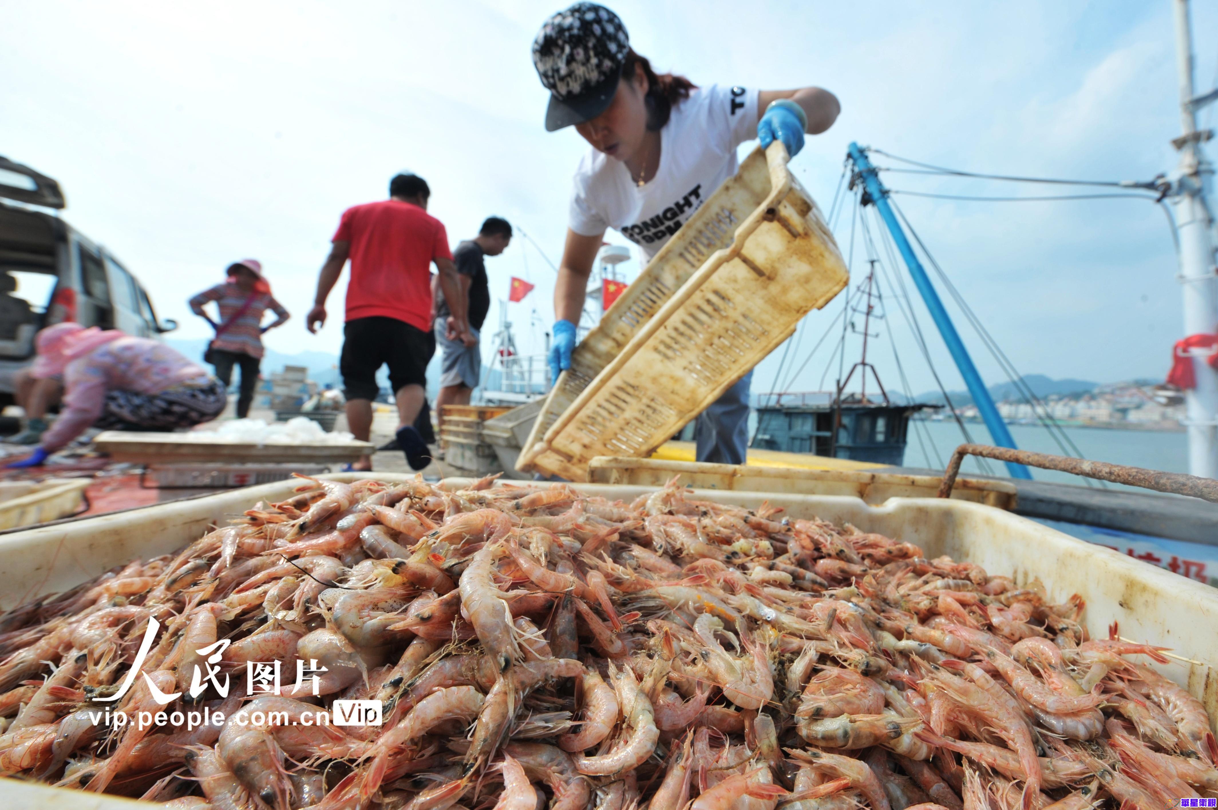 山东青岛:秋捕鱼虾丰