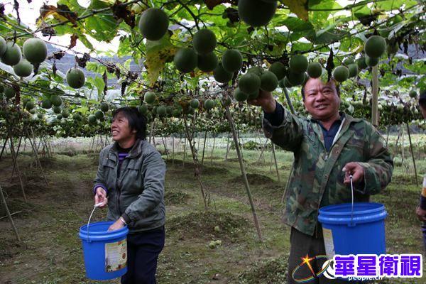 荔波尧花村:罗汉果喜获丰收 农民日子有奔头