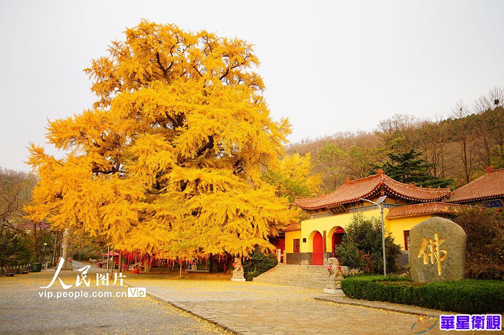 """公冶长书院2500年""""夫妻银杏树""""进入最佳观赏期"""