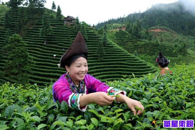 广西融水:茶农踏晨忙采茶