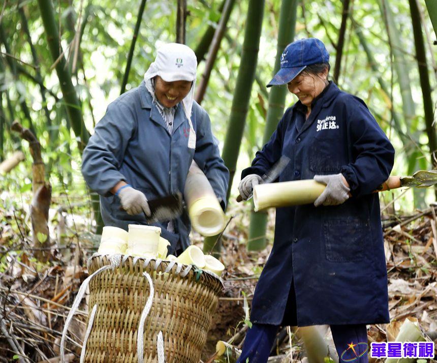 重庆涪陵:竹笋收砍季 收入节节高